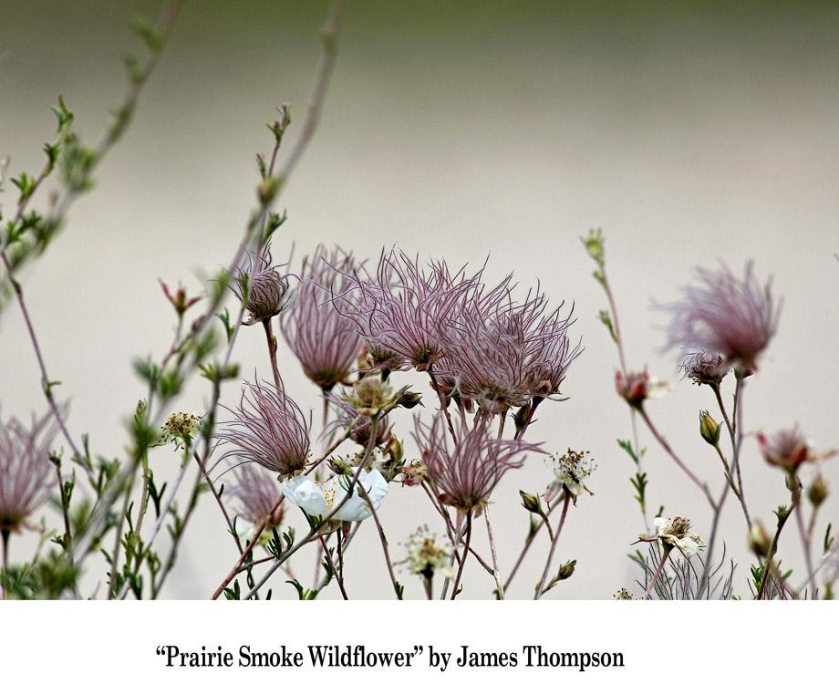 Autumn-Photo-Finalist---Prairie-Smoke-Wildflower-by-James-Thompson